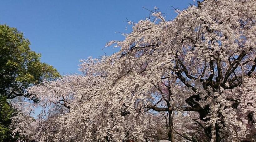 cherry blossoms in shinjukugyoen